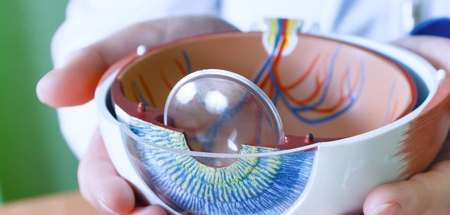 Eye model showing the different parts of an eye